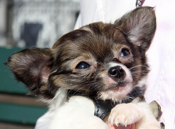 Profiling 4 Of The Smallest Dog Breeds In The World